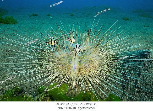 Astropyga radiata, Weisser Diademseeigel mit Banggai Kardinalbarschen, white Long-spined Sea Urchin with Banggai cardinalfish Secret Bay, Gilimanuk, Bali