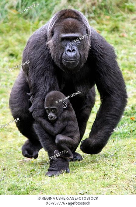Gorilla Gorilla gorilla  - female transporting baby animal