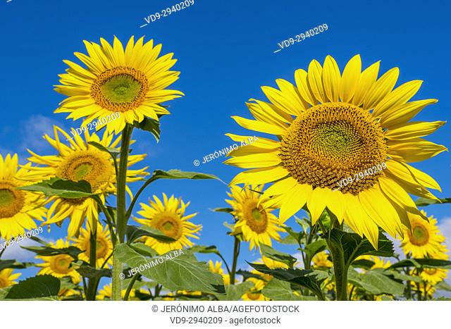 Sunflowers field in summer. Las Merindades County Burgos, Castile and Leon, Spain, Europe