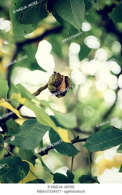 Walnut hanging on the tree