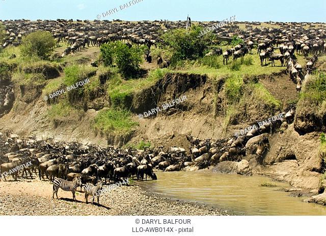 Portrait of Blue Wildebeest Connochaetes taurinus Herd Migrating  Masai Mara National Reserve, Kenya