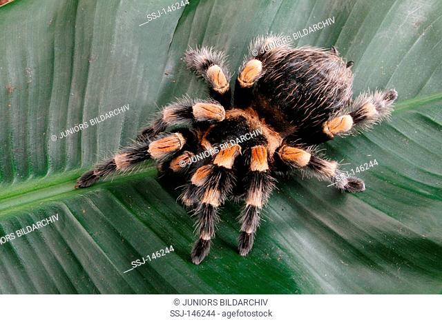 Mexican redknee tarantula / Brachypelma smithi restrictions: Tierratgeber-Bücher / animal guidebooks