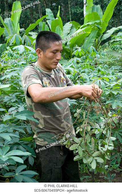 Young man early 20°s picking wild peanuts in the rainforest with banana plants in the background, Amazon basin, Pastaza, Ecuador