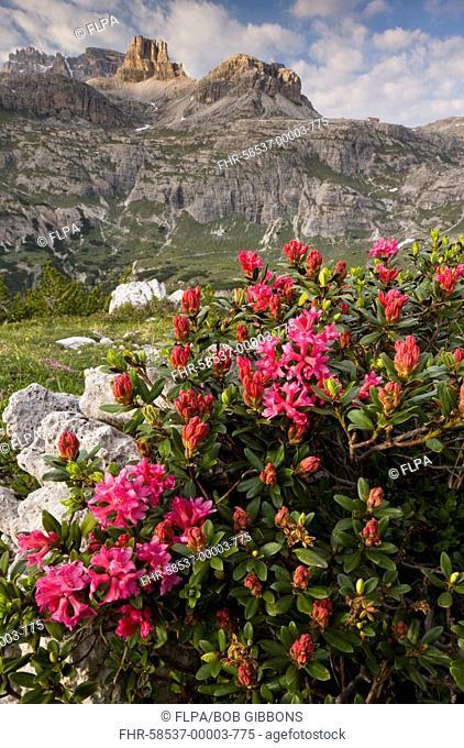 Hairy Alpenrose Rhododendron hirsutum flowering, growing in mountain habitat, Tre Cime de Lavaredo, Dolomites, Italy, june