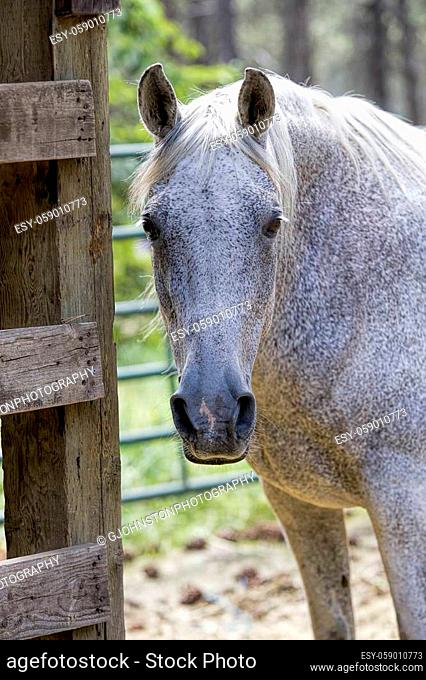A close up photo of a pretty white horse by a stable in Athol, Idaho