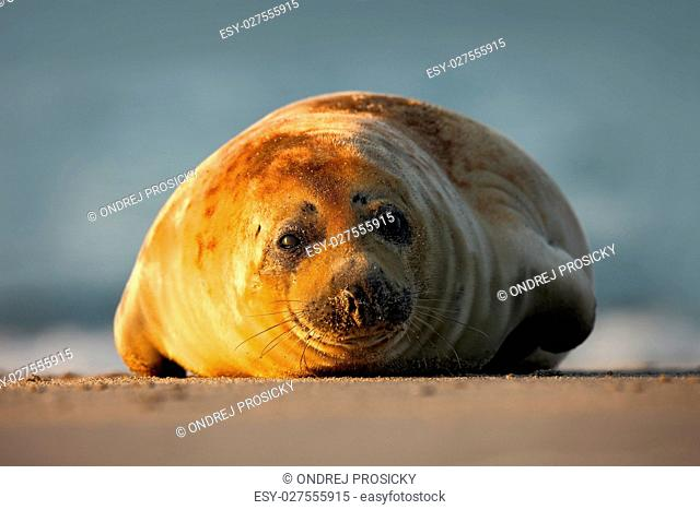 Atlantic Grey Seal, on the sand beach, sea in the background, He