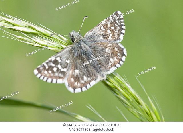 Safflower Skipper, Pyrgus carthami, small speckled skipper butterfly with wingspan of 30-34 mm. food plants: Potentilla, Malva, Althaea, Centaurea