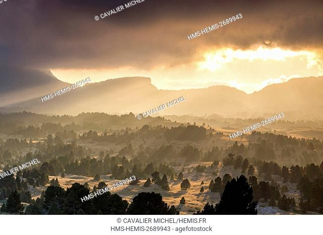 France, Isere, regional natural reserve of Vercors, Trieves, nature reserve of the high plateaus of Vercors, forest of Mountain Pine (Pinus uncinata) of the...