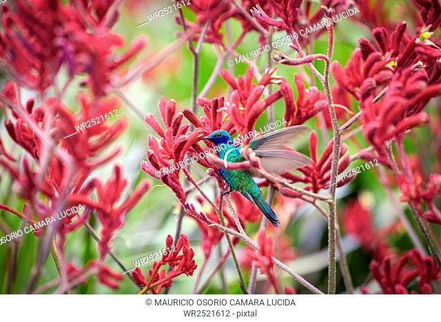 Colibri; Colombia