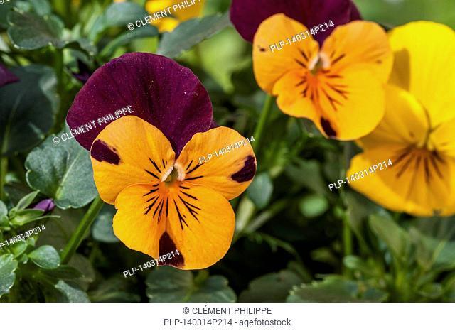 Colourful pansies, Viola cultivars in flower in garden in spring