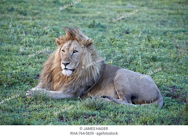 Lion (Panthera leo), Ngorongoro Crater, Tanzania, East Africa, Africa