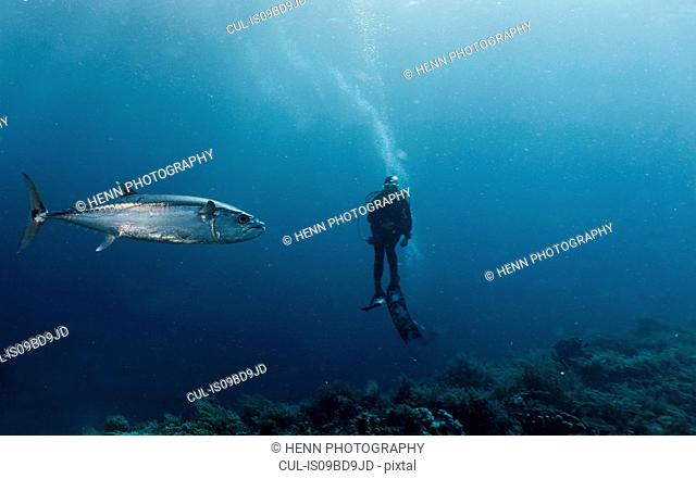 Diver and tuna fish, underwater view, Tubbataha Reefs Natural Park, Cagayancillo, Palawan, Philippines