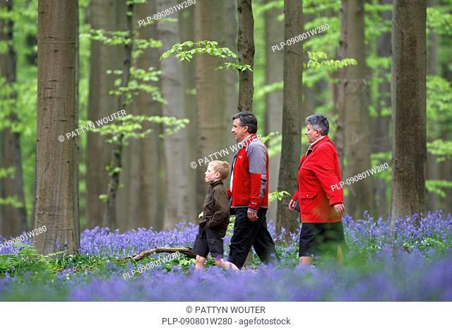 Walkers walking among bluebells (Endymion nonscriptus) flowering in spring in beech forest, Hallerbos, Belgium
