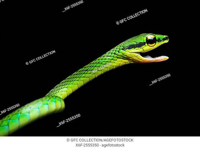 Cope Vine Snake (Oxybelis brevirostris), (Colubridae family), Chocó rainforest, Ecuador