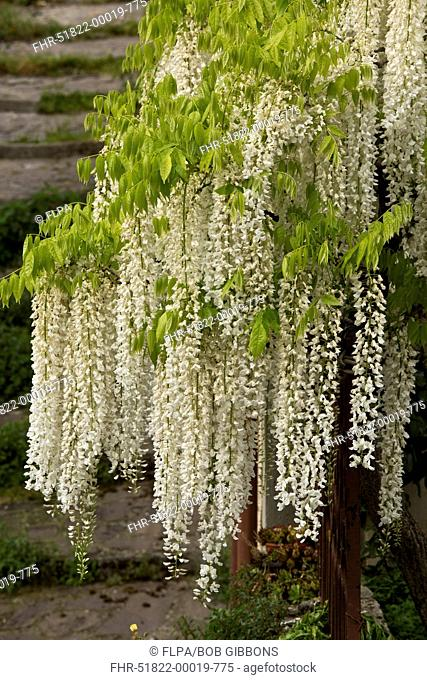 Chinese Wisteria (Wisteria sinensis) 'Alba', small free-standing tree, flowering, Central Italy, May
