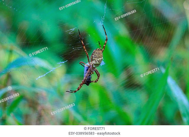 multicolored Spider with Prey - wasp spider Argiope bruennichi