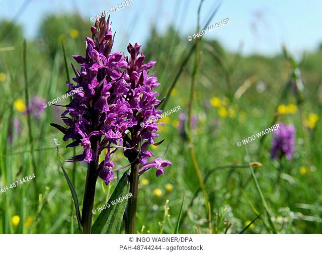Broad-leaved marsh orchid bloom in the moor of NABUin Moordorf,Germany, 20 May 2014. The endangered species of Orchid will be cared for in the Vicorburer Moor...