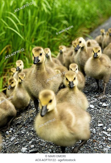 A large group of goslings at Burnaby Lake, Burnaby, BC