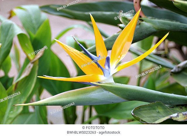 crane flower, bird of paradise flower, geel piesang Strelitzia reginae, flower, Spain, Canary Islands, La Gomera