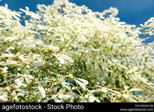 white pascuita flowers, closeup image in the daytime
