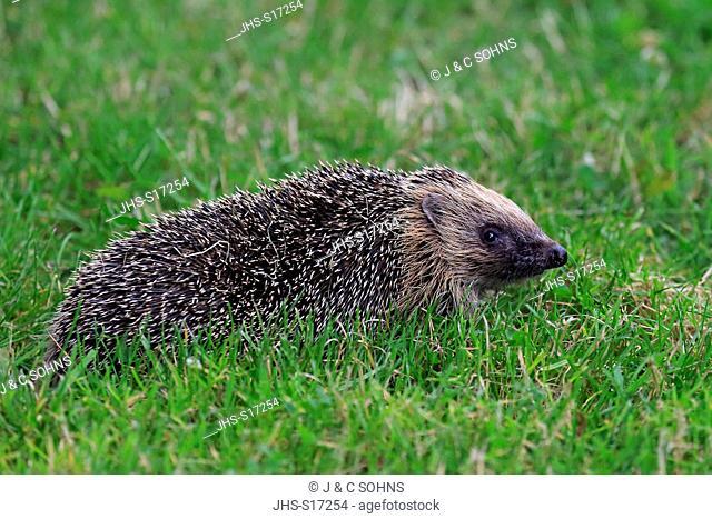 Western Hedgehog, Common hedgehog, European hedgehog, (Erinaceus europaeus), adult at daytime searching for food, Surrey, England, Europe