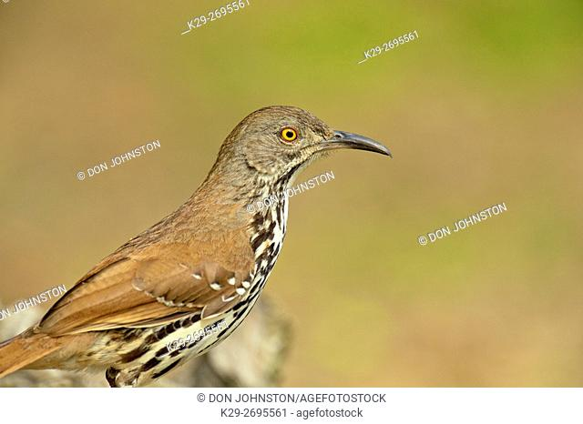 Long-billed thrasher (Toxostoma longirostre), Rio Grande City, Texas, USA