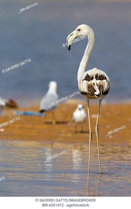 Greater Flamingo (Phoenicopterus roseus), juvenile, standing in water, Qurayyat, Muscat Governorate, Oman