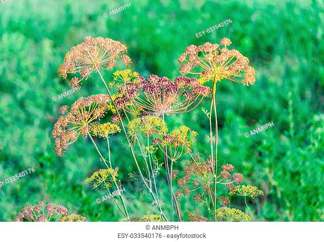 Stems and umbel inflorescence with seeds of dill on green blurred background