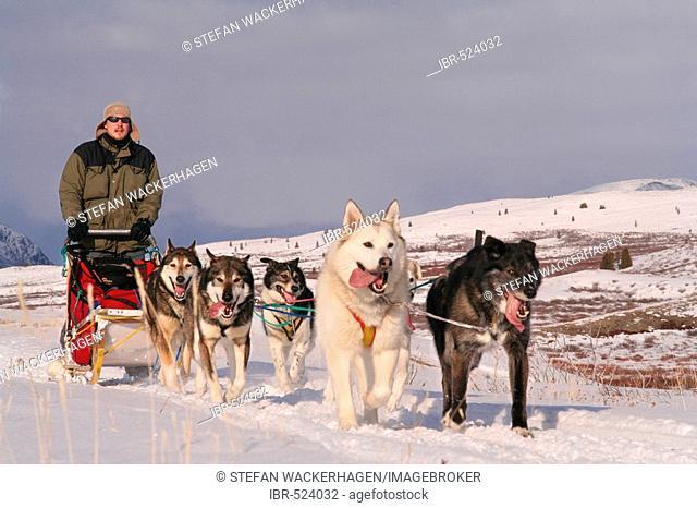 Dog team / dog sled with musher, tundra, Yukon Territory, Canada
