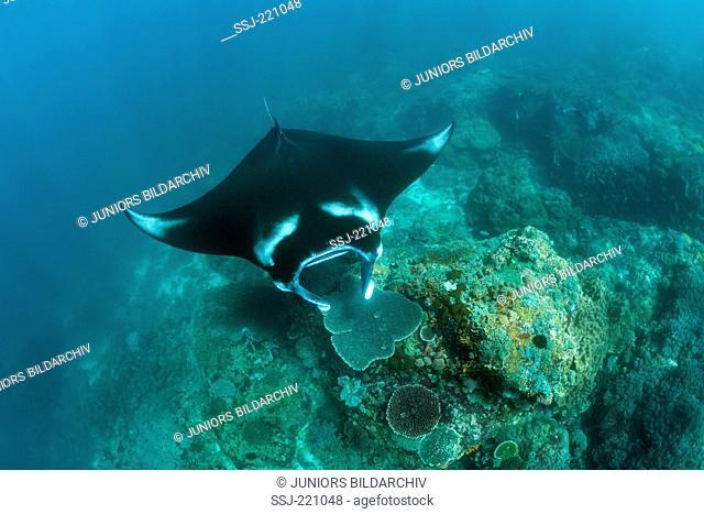 Reef Manta (Manta alfredi) above coral reef in the Komodo National Park, Indonesia