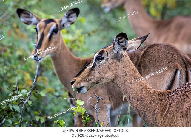 Black-faced impalas at Etosha National Park, Namibia, Africa