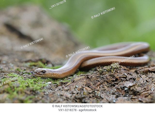 Slow Worm / Blindschleiche ( Anguis fragilis ) darting its tongue in and out, wildlife, Europe.