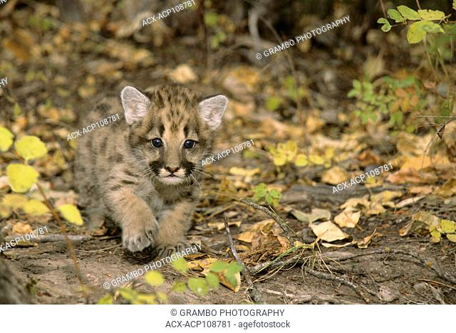Cougar kitten, Puma concolor, 5 weeks old, Montana, USA