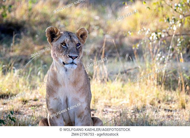 A lioness (Panthera leo) in the Masai Mara National Reserve in Kenya