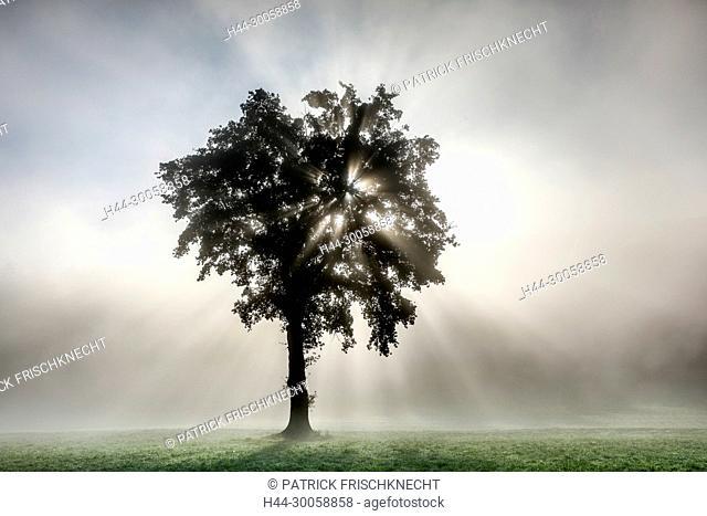 Oak in the fog, Bern, Switzerland