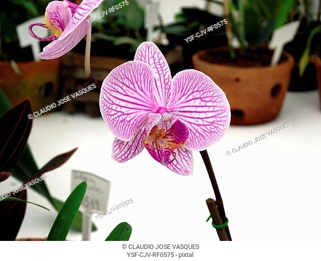 Flowers, orchid, orchids, Phaleanopis striped, Botanical Garden, City, Rio de Janeiro, Brazil