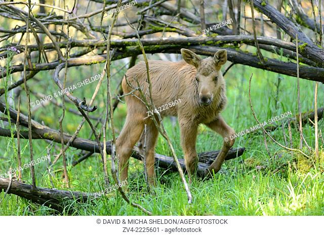 Eurasian elk (Alces alces) youngster in a forest in early summer