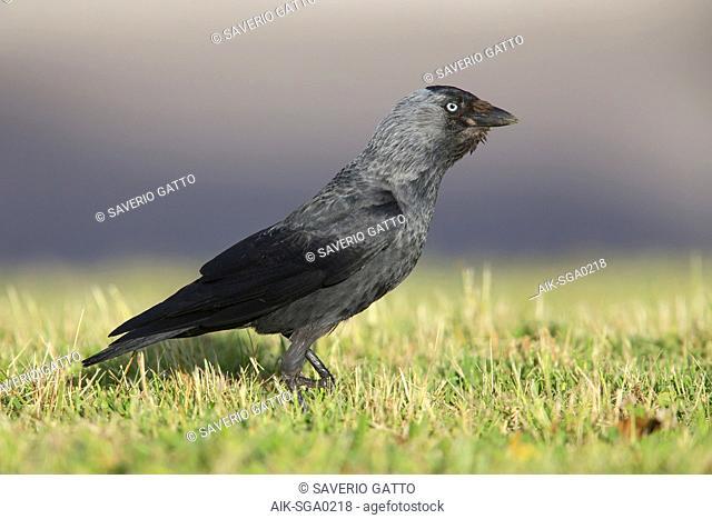 Jackdaw, Campania, Italy (Corvus monedula)