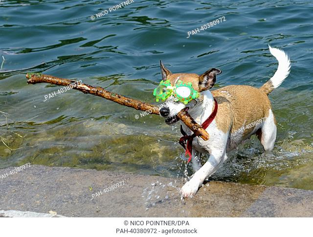 Jack Russell Terrier Luna carries a stick in her mouth as she steps out of water of lake Maschsee, Hanover, Germany, 20 June 2013