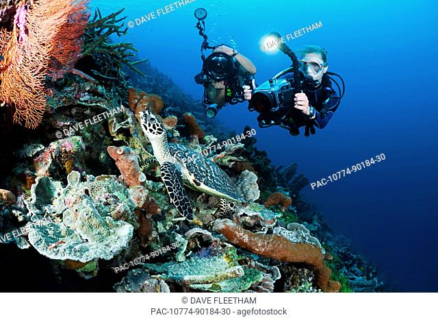 Indonesia, Divers photographing a Hawksbill Turtle Eretmochelys imbricata on a reef