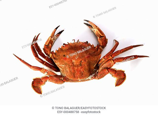 Lio carcinus puber crab isolated on white background