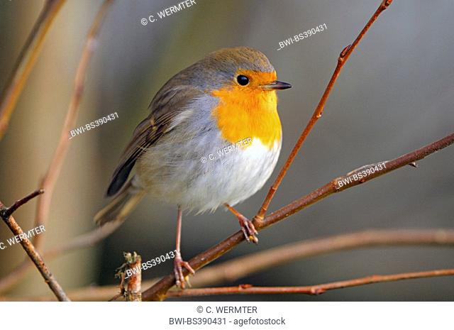 European robin (Erithacus rubecula), adult in winter, Germany, North Rhine-Westphalia, NSG Dingdener Heide