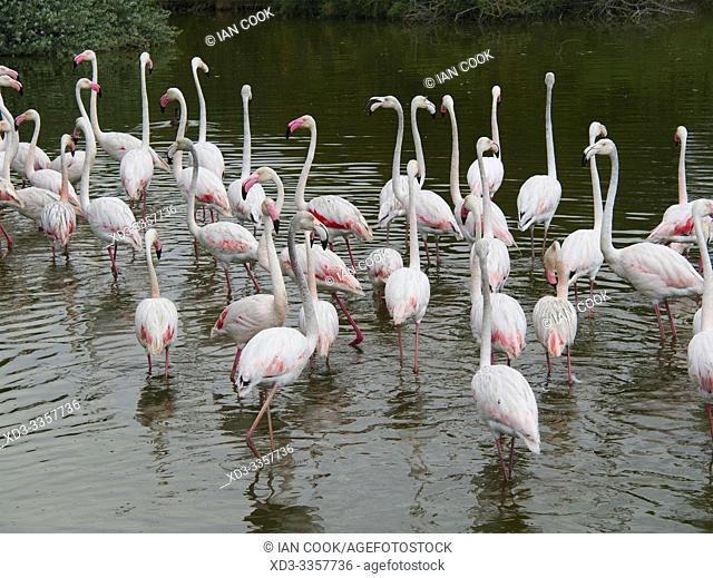 Greater flamingo, Phoenicopterus roseus, Ornithological Park of Pont de Gau, near Sanites-Maries-de-la-Mer, Bouches-du-Rhône department