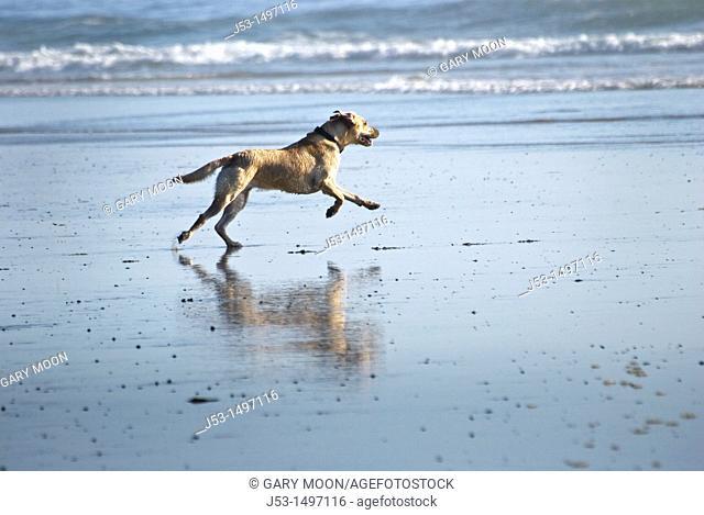 Yellow labrador retriever playing in ocean surf, southern Oregon