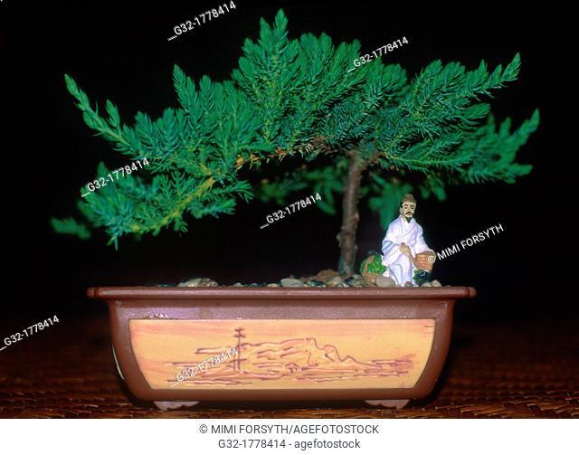 Juniper tree, kept small in Japanese Bonsai tradition