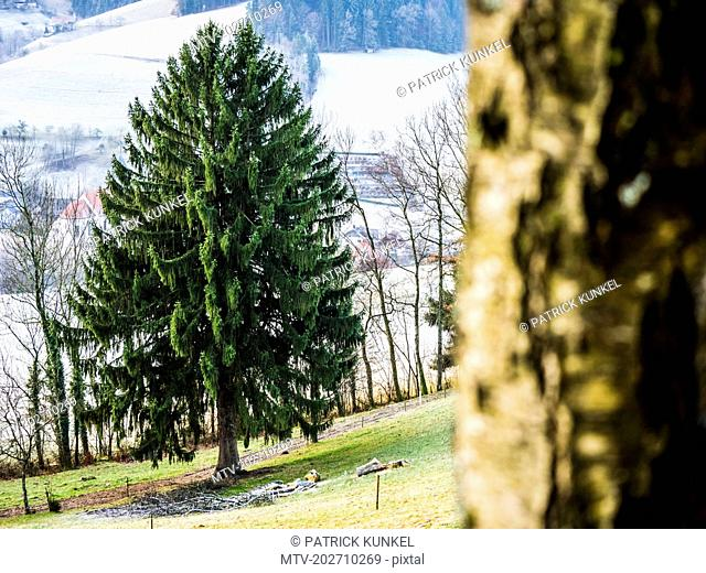 Big fir tree in front of snow covered landscape