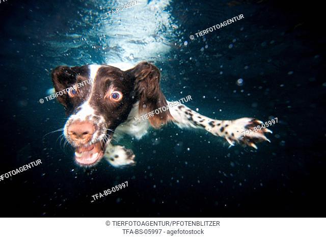 diving English Springer Spaniel