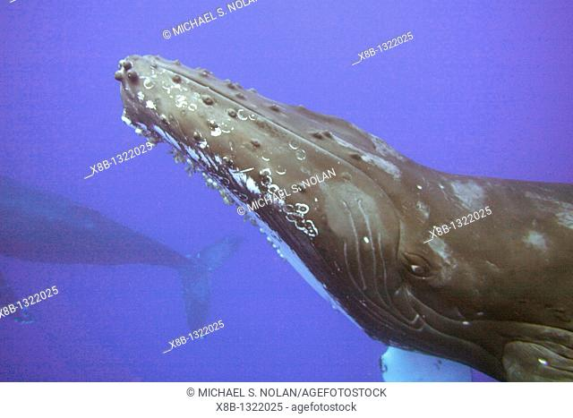 Two curious adult humpback whales Megaptera novaeangliae approach the boat underwater in the AuAu Channel separating Maui from Lanai, Hawaii  Pacific Ocean