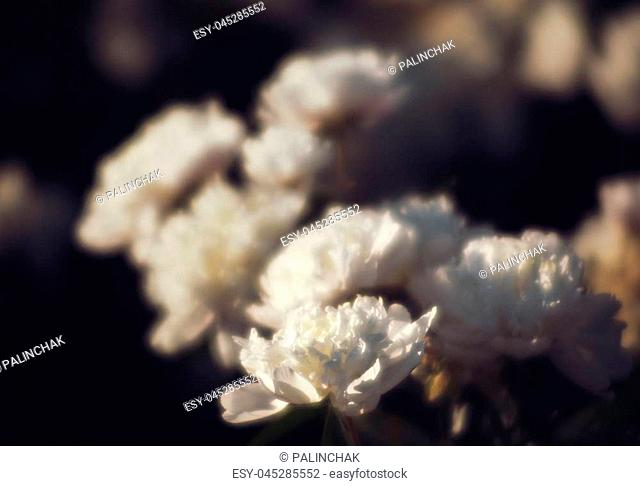 Soft focus image of blooming white peonies in the garden. Selective focus. Shallow depth of field