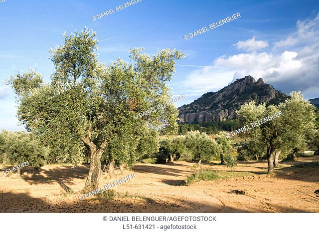 Olive trees fields. Horta de Sant Joan, Tarragona province, Catalonia, Spain